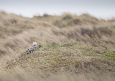 Snowy Owl resting in the dutch dunes: very special in NL !!