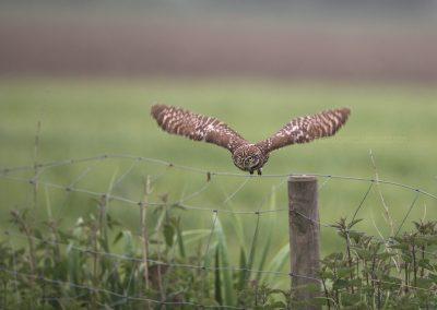 Little Owl in flight…