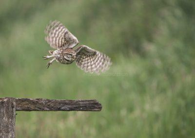 Little Owl flies off…