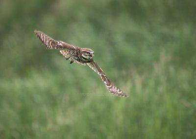 Little Owl flies by…