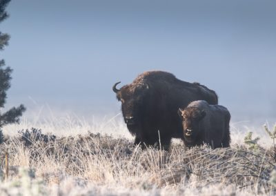 European Bison with calf posing in the with frost covered landscape