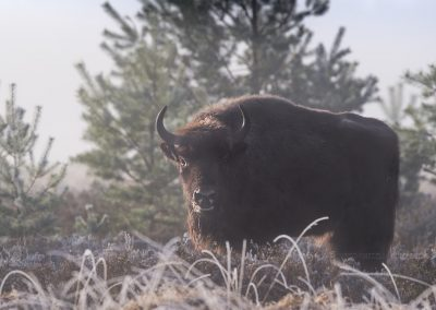 Eurpean Bison Bull looks up during foraging