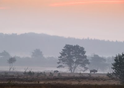 European Bison followed by her calf walk slowly through the morning dew as the sun starts to colour the sky at the beginning of a new day.