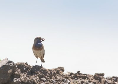 Bluethroat with a catched worm in his beak about to bring it to the nest
