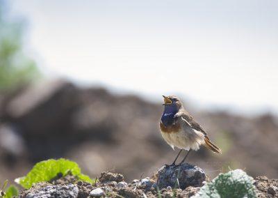 Bluethroat sings his song…