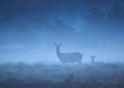 Very early in the morning dew, at the first daylight a Red Deer Hind and her calf do listen during foraging