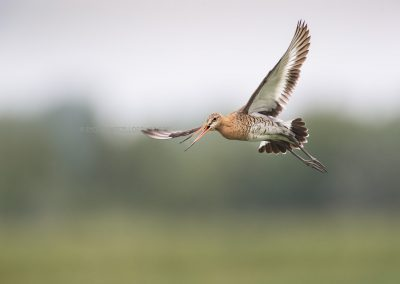Black-tailed Godwit screaming during the flight