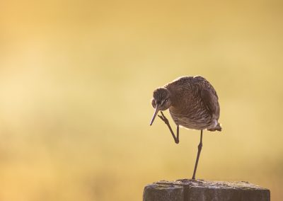 Black-tailed Godwit on a pole scratching herself…
