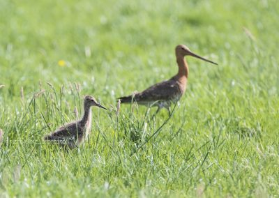 Young Black-tailed Godwit foraging in the meadow being watched by one of the parents
