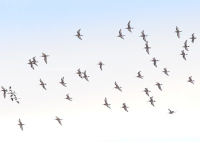 Group of Black-tailed Godwitts in flight