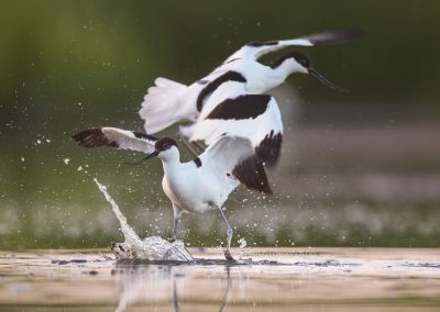 Pied Avocets romping together