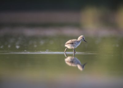Young Pied Avocet makes his first journey alone, ,foraging in low water…