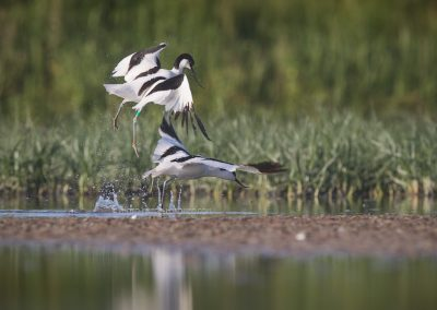 Two Pied Avocets in fight