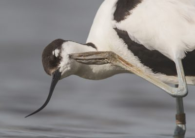 Pied Avocet has itching