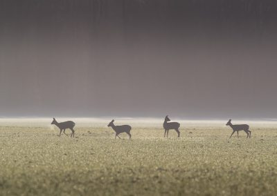 Group of Roe Deer vaporing early in th foggy morning