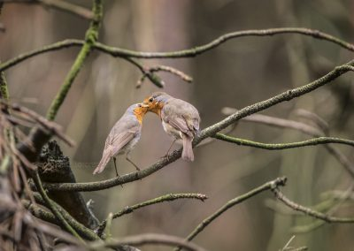 Male Robin puts a mealworm in the mouth of a female to seduce her...