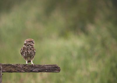 Little Owl Looks around