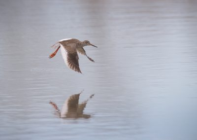 Common Redshank flying above the water