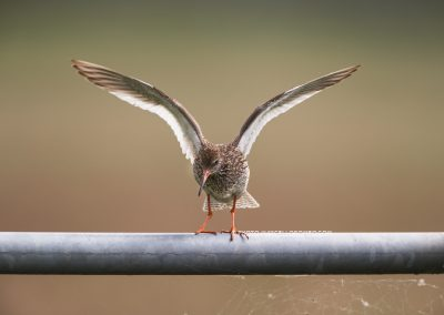 Redshank lands on a round pipe, which is not that easy