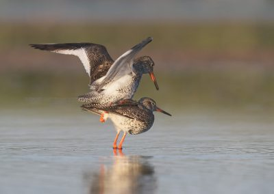 Redshanks mating