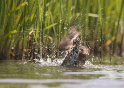 Redshank takes a bath, splashing the water