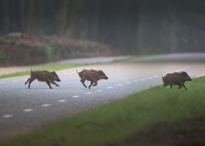 Young Wild Boars do run across the road early in the morning