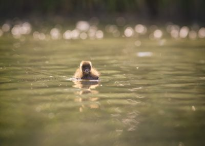 Juvenile Mallard swimming