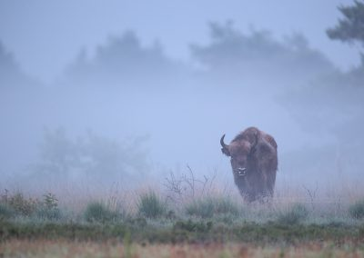 European Bison Bull looks up during foraging, early in the morning