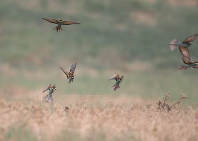 Bee-eaters hunting against the wind