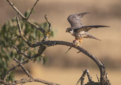 Eurasian Hobby with a fresh catched bird in her claws