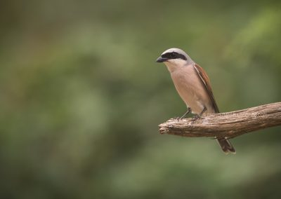 Red-backed Shrike posing on a branch