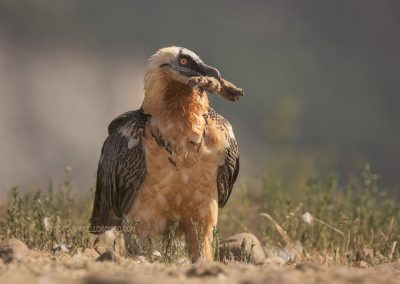 Lammergeier with the bones (leg) from a roe deer in his beak