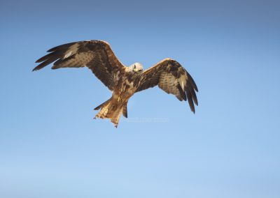 Red Kite looks down during his flight to look for a prey