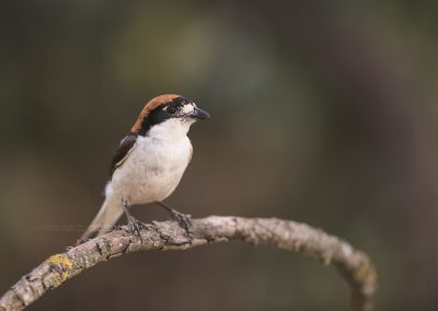 Woodchat Shrike poses for a while on a branch
