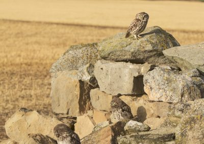 Little Owl with two chickens