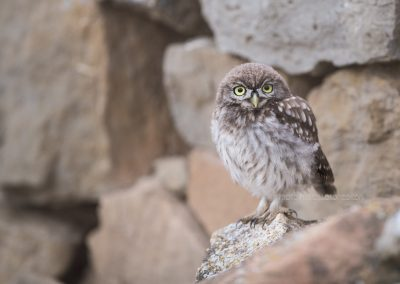 Juvenile Little Owl posing on a stone, waiting for his parents