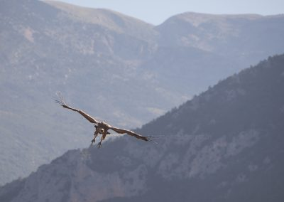 Griffon Vulture is going to land