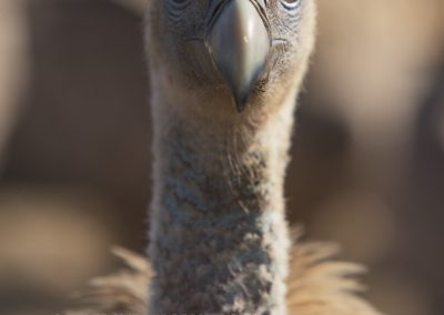 Close up from a Griffon Vulture