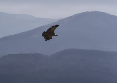 Griffon Vulture  in flight at the foothills of the Pyrenees