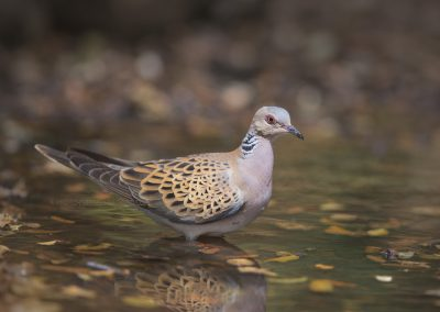 European Turtle Dove in a drinking pool