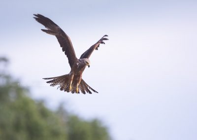 Black Kite biding, just before diving down on the prey