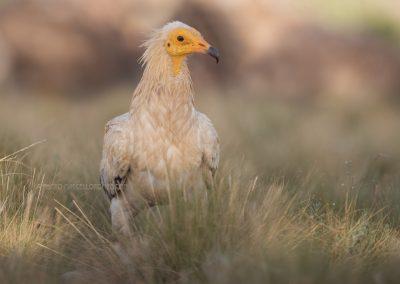 Egyptian Vulture looks around