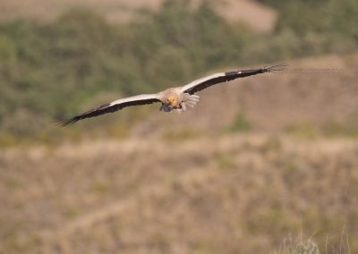 Egyptian Vulture in gliding flight