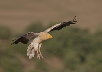 Egyptian Vulture is about to land