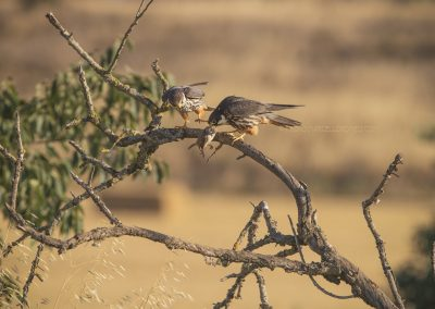 Eurasian Hobby Male gave a just catched prey over to the female who starts to eat immediately