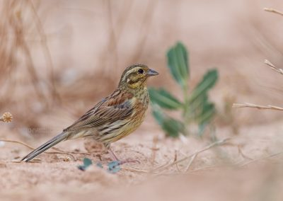 Female of the Cirl Bunting
