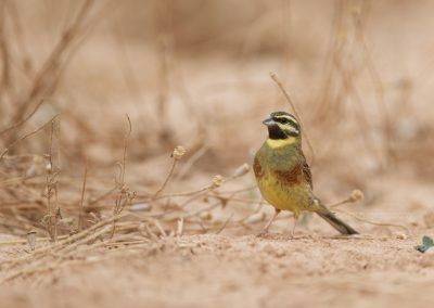 Male of the Cirl Bunting looks up