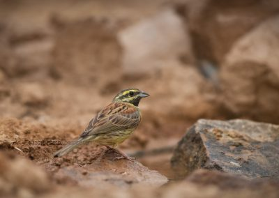 Cirl Bunting at a drinking pool