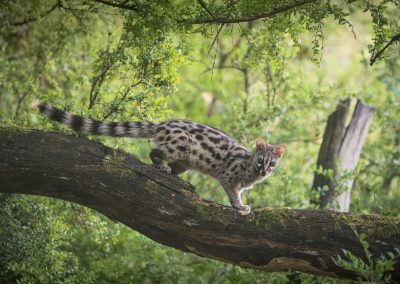 Common Genet moving over a dead tree