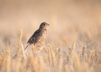 Corn Bunting sitting on the top of  an ear of corn in the last daylight
